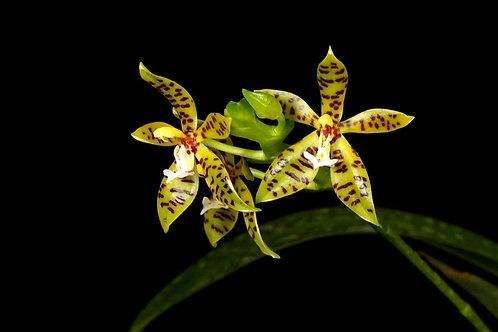 Phalaenopsis lamelligera