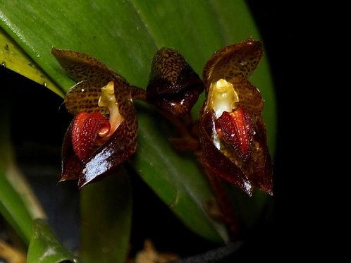 Bulbophyllum subumbellatum