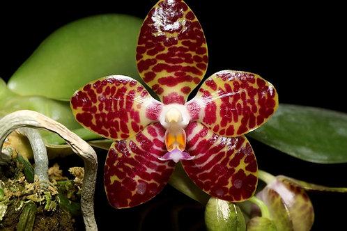 Phalaenopsis Yang Yang Gigan Cherry
