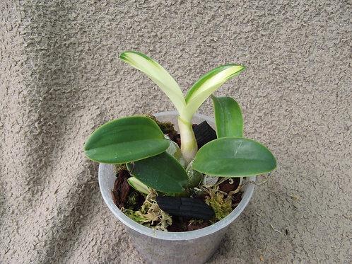 Dendrobium speciosum 'Maizuru'