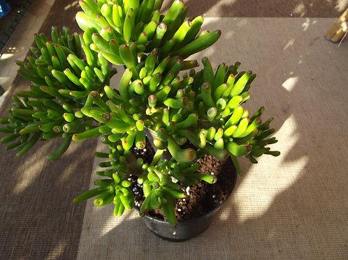 Crassula ovata 'Gollum' /money tree /jade  plant, large