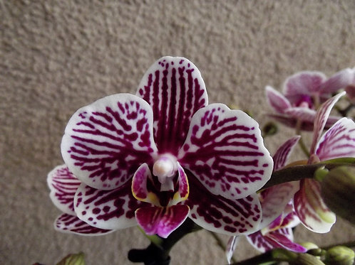 Phalaenopsis 'Little Zebra'