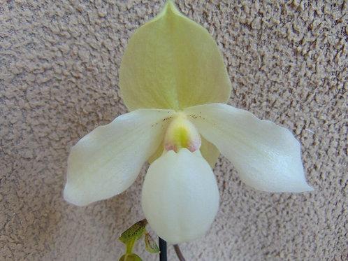Paphiopedilum 'Deperle' hybrid