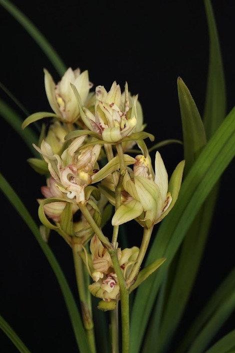 Cymbidium ensifolium  'Fu Shan'