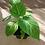Thumbnail: Sweet granadilla (Passiflora ligularis)