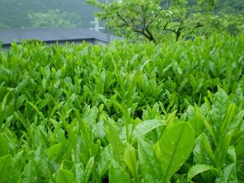 茶摘みs足柄s015.jpg