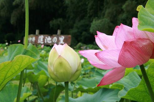 04_蓮池の里.jpg