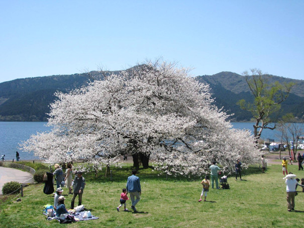 箱根園 湖畔1本桜