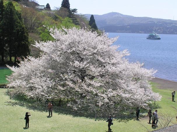 箱根園「湖畔の1本桜」