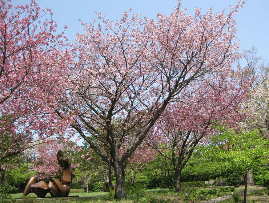 箱根彫刻の森美術館 春桜