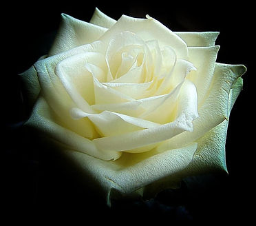 white-rose-meaning.jpg