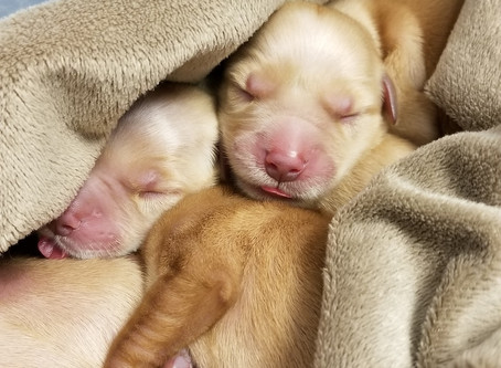 Puppies born at Healthy Paws!