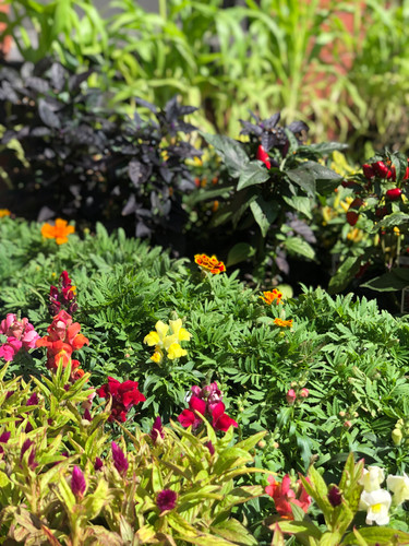 """Assorted 4"""" Fall Annuals"""