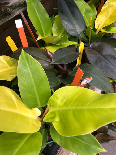 """Philodendron Moon Light 4"""""""