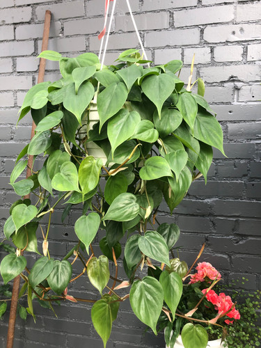 "6"" Hanging Heartleaf Philodendron"