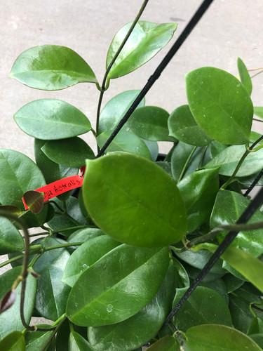 Hoya  - australis
