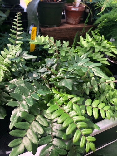 Assorted Ferns