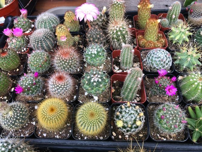 "Asst cacti 2"" pots"