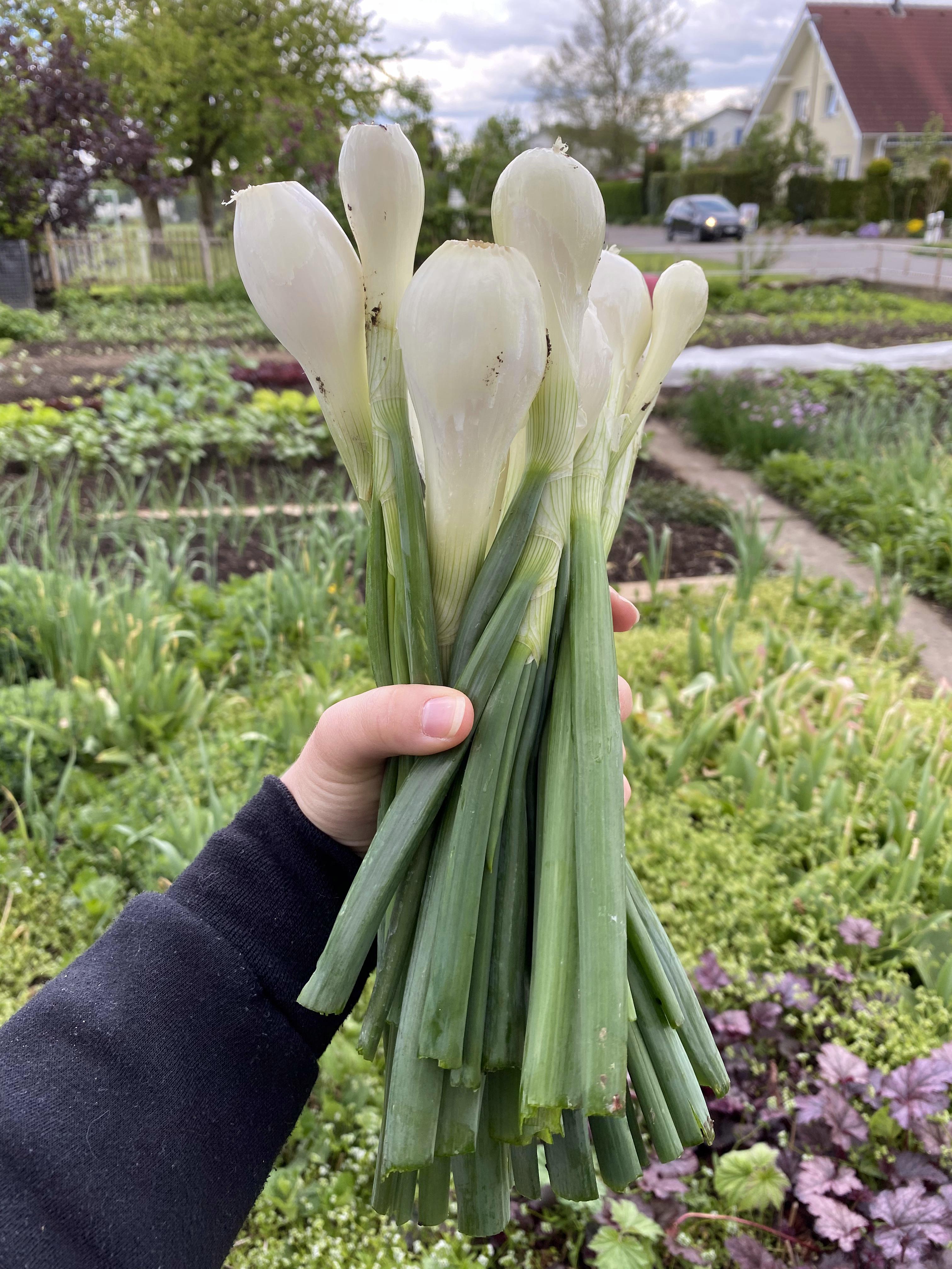 frische Frühlingszwiebeln