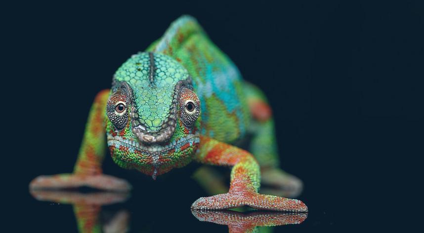 Chameleon looking straight ahead