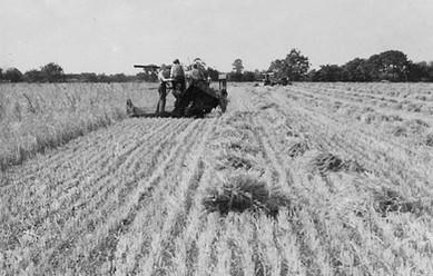Harvest on Manor Farm Aug 1947