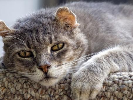 Alzheimer ou Síndrome da Disfunção Cognitiva em Gatos