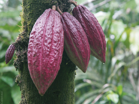 Integrating REDD+ and private sector cocoa initiatives in Côte d'Ivoire