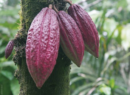 Integrating REDD+ and private sector cocoa initiatives in Côte d'Ivoire: creating incentives for