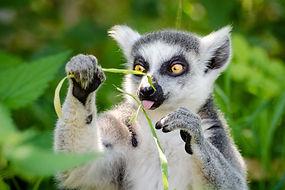 lemur- from pexels-flickr-147939.jpg