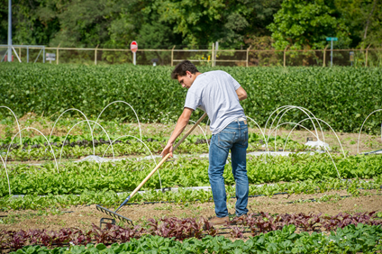 Man raking in a row of greens