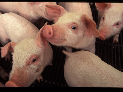 Recent Legal Decisions Uphold Proposition 12's Livestock Production Standards