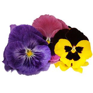 Pansy-flower.jpg