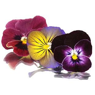 Viola-flower.jpg