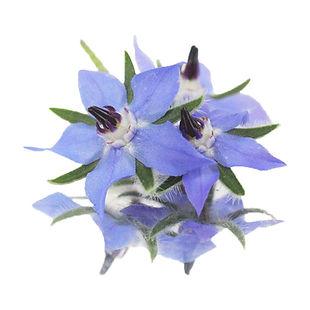 Borage Flower.jpg