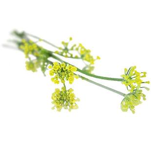 fennel-flowers.jpg