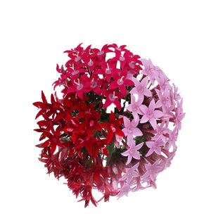 pentas-star-flower.jpg