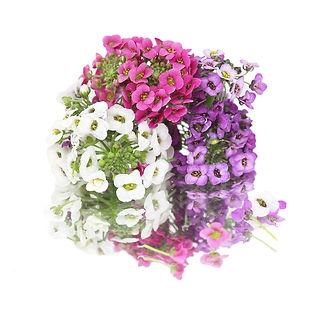 alyssum-flower.jpg