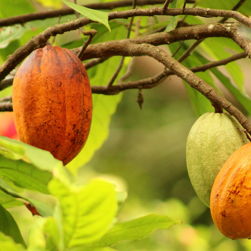 cacoa vruchten