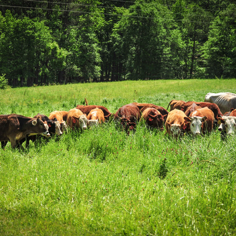 Old Century Meats cattle