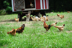 Old Century Meats Pastured Poultry