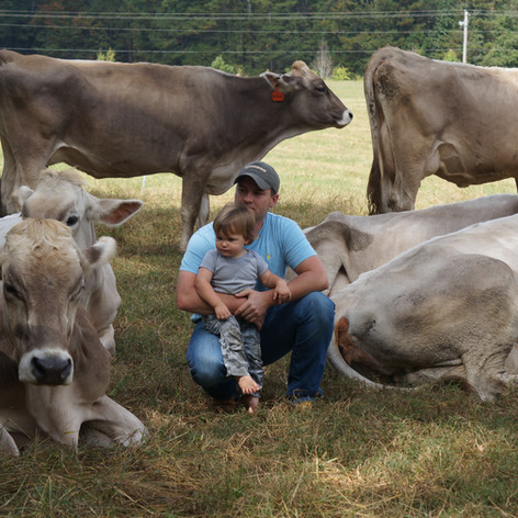 Old Century Meats Dairy Cows