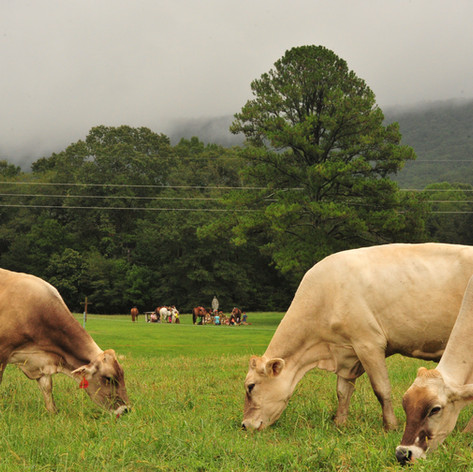Old Century Meats Dairy cows Field of Apparitions