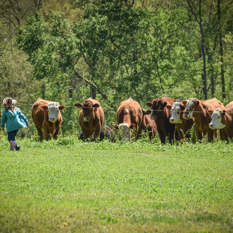 Old Century Meats Kids and cattle