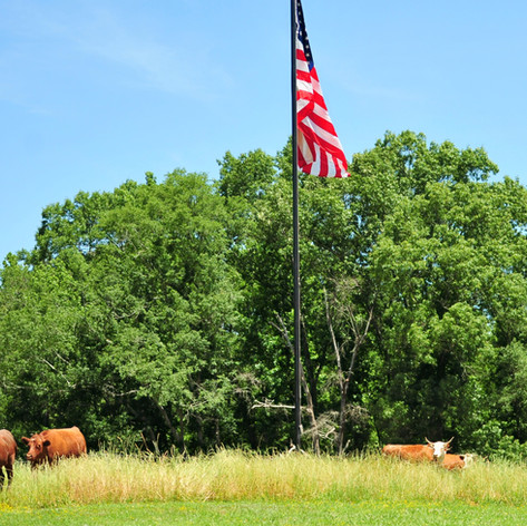 Old Century Meats Cattle around Flag