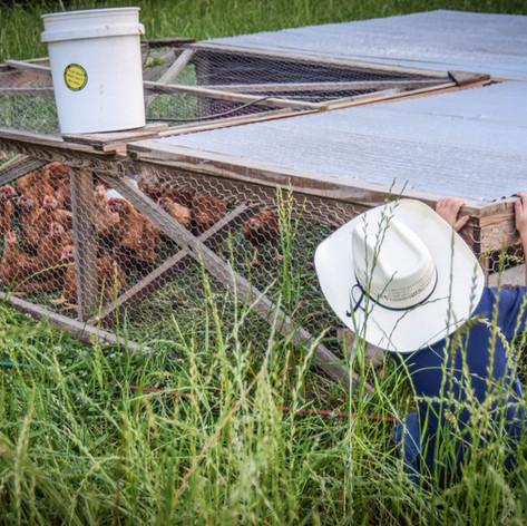 Old Century Meats Chicken Tractors