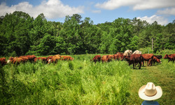 Old Century Meats Cattle in pasture