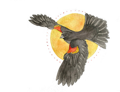The Herald: Red Winged Black Bird