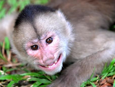 Pokus s opicemi malpa
