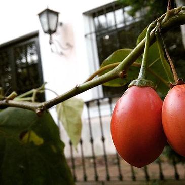 Primeiras colheitas na casa nova ✩ tomat