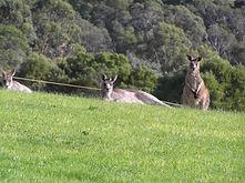 kangaroos2.jpg